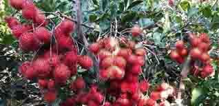 Vườn trái cây Bến Tre - Danh sách các vườn trái cây Bến Tre đáng để bạn khám phá